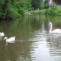 Swan, Гаханна