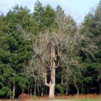 Magnolia Tree, Кингсвилл