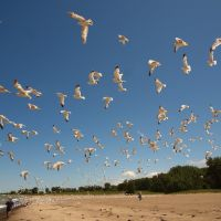 Flock of Gulls at Headlands Beach, OH, Ментор