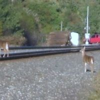 Deer on the tracks, Норт-Кингсвилл