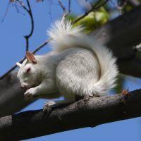 Oberlins Albino Squirrels, Оберлин