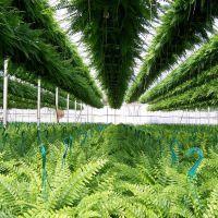 Bobs Market and Greenhouses, Inc. - 12,000 Ferns!, Померой