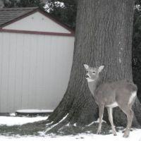Deer in the backyard, Роки-Ривер
