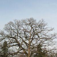 Greenlawn Cemetery Tree, Урбанкрест