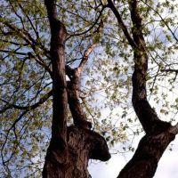maple in spring, Флетчер