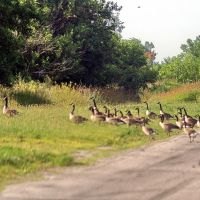 2008, Bloom, Ohio - Canada Geese crossing road, Харрод