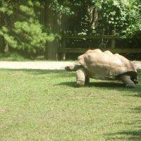 Mala kornjaca, Харрод