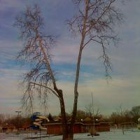 sycamore tree, Шелби