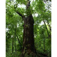 Caldwell Preserve Cincinnati White Ash May, Элмвуд-Плейс