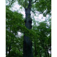 Caldwell Preserve Cincinnati Red Oak May, Элмвуд-Плейс