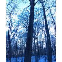 Calwell Preserve Pin Oak, Элмвуд-Плейс