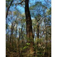 Caldwell Preserve  Bur Oak April, Элмвуд-Плейс
