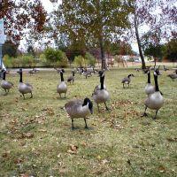 Geese, Бетани
