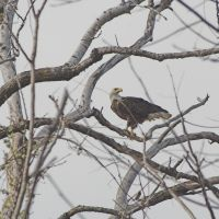 Bald Eagle, Санд-Спрингс