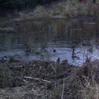 ducks, Бивертон