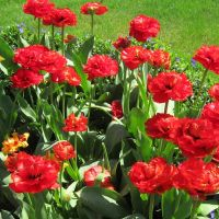 Red tulips, Сант-Хеленс