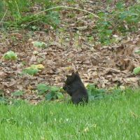 Black Squirrel at Haverford, Ардмор