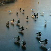 Ducks walking on frozen Haverford College Pond, Ардмор