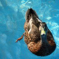 Spoiled duck, Белмонт