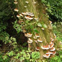 Union Canal Fungus Tree, Вернерсвилл