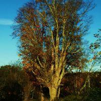 Very cool old tree, Кембридж-Спрингс