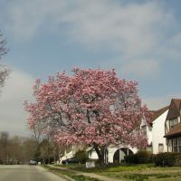 Drexel Hill Tulip Tree, Лансдаун