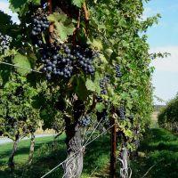 Waltz Vineyard - Merlot Vines, Маунт-Гретна