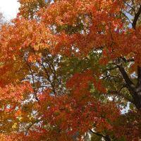 Fall colors - maple tree, Нарберт