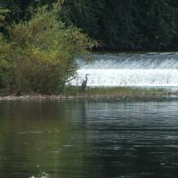 Blue Heron by Falls, Норристаун