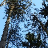 Looking up through some pine trees at the moon., Нортумберленд