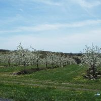 orchard in full bloom, Пайнт