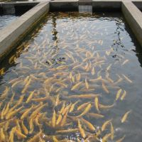 Feeding time at the Fish Hatchery, Пайнт