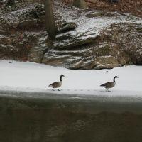 Geese on Pennypack Creek, Рокледж