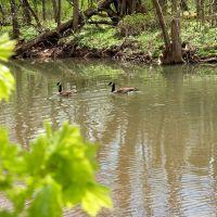 Canada Geese Pair in Spring, Lenape Park, Perkasie, Pennsylvania - USA, Селлерсвилл