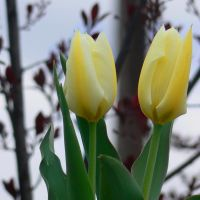 Tulip, Флемингтон