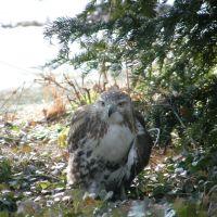 Redtail Hawk Shot on Wilson Dr., Хазлтон