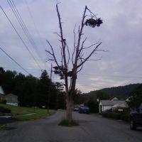 Who planted a tree there?, Хантингдон