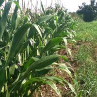 cornfield, Чикора