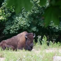 Bison in The ZOO, Кранстон