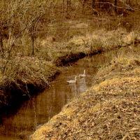 Ducks Entering one of the feeder creeks---st, Вест-Конкорд