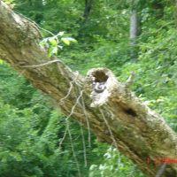 Snake in the Tree Sunning - July 2007, Моргантон