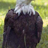 Bald Eagle, Хантерсвилл