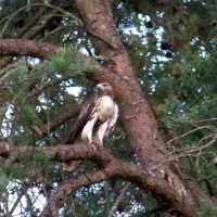 Another Frequent Visitor - Adult Red Tail Hawk, Хантерсвилл