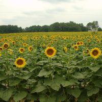 Sunflower Land, Эллерб