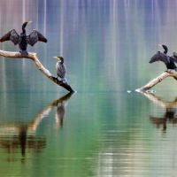 Double-Crested Cormorants, Эночвилл
