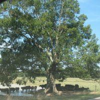 Cattle under the tree, Гринфилд