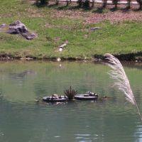 turtles in pond, Маривилл