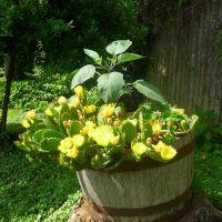 Barrel full of yellow cattus, Маривилл