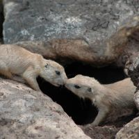Abeliene, TX - Abeliene Zoo - Prarie Dogs, Аспермонт
