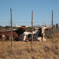 Texas LongHorns resting, Аспермонт